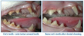 cat teeth cleaning